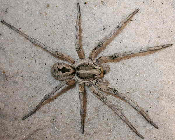Wolf Spider Bite – Pictures, Symptoms and Treatment